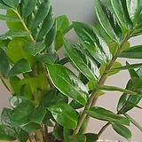 금전수(대박나무) 잎색깔이 불링불링해요 높이(40) Zamioculcas zamiifolia