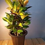 아이스톤크로톤(잎색상이 멋스러워요 )높이75-80 Codiaeum Variegatum Blume Var Hookerianum