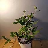 추명국(꽃봉우리가 맺어있어요 ) Echeveria Riga