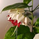 덴드롱(하얀꽃속에 빨간수술이 달려지요) 높이 32-35 