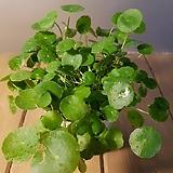 워터코인(수경재배가능) 잎이둥근모양이라 귀여운 아이에요 