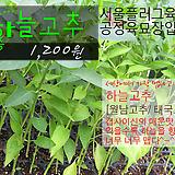 하늘고추(월남고추/ 태국고추/ 프릭키누) 서울육묘생산 정품모종 (단일품목 구매시 5천원 이상 배송가능)|