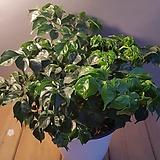 해피트리(행복나무) 15센치( 잎에서 해피바이러스가 묻어나오지요)