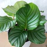 카라데아/오르비폴리아/그린색 줄무늬잎이 고급스러워요.|
