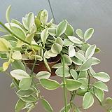소라디시아화이트/디시디아소라그린/공중식물 