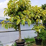 명품골드뱅갈고무나무-멋진특원목 250|Ficus elastica