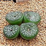 코노피튬 일반종 옵코델룸 씨앗 5립 (CS34)