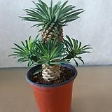 Euphorbia hypogaea