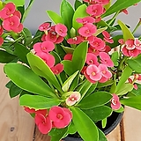 꽃기린(사계절꽃이 피지요)10센치 