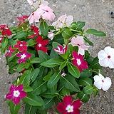 일일초(흰색 핑크 빨강 진한핑크) 4개묶음판매 