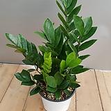 금전수( 새순이 많이 나오고 있어요)|Zamioculcas zamiifolia