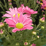 분홍구절초 