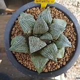 하월시아 콤프토니아.콜렉타교배종|haworthia