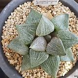 하월시아 콤프토니아|haworthia