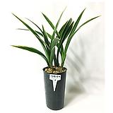 가와사끼/난/동양란/공기정화식물/식물/식물화분/나라아트|
