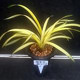 황금강/난/동양란/공기정화식물/꽃/분재/수반/옹기/나라아트|