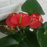 안스리움 (중품) / 공기정화식물|