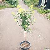 목수국 (토피어리형) 라임라이트 유럽목수국 노지월동|Hydrangea macrophylla