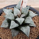 하워르티아 일반종 픽타 씨앗 5립 (HS145)|Haworthia picta