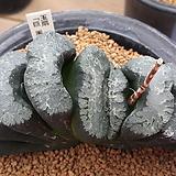 하워르티아 일반종 옥선 씨앗 5립 (HS146)|Haworthia truncata