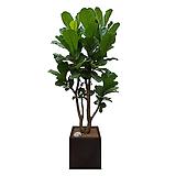 떡갈고무나무 고급폴리분 개업화분|Ficus elastica
