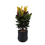 크로톤 축하화분 개업화분|Codiaeum Variegatum Blume Var Hookerianum