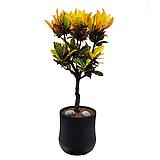 크로톤 관엽식물 개업선물추천 개업화분|Codiaeum Variegatum Blume Var Hookerianum