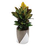 크로톤 인테리어화분 집들이식물 축하화분 개업화분|Codiaeum Variegatum Blume Var Hookerianum
