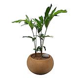 나비야자 공작야자 피쉬테일팜 관엽식물 개업화분|