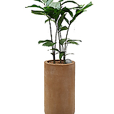 나비야자 공작야자 인테리어식물 카페식물 축하화분|