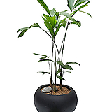 나비야자 사무실식물 희귀식물 부채야자 개업화분|