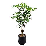 대엽홍콩야자 인테리어식물 가습식물 개업화분|