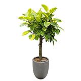 뱅갈고무나무 고급폴리분 인테리어식물 개업식화분|Ficus elastica