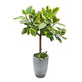 뱅갈고무나무 시멘트화분 축하화분배달|Ficus elastica