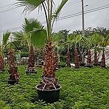 와싱톤야자나무 탁월한 공기정화수특목대500|