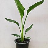 극락조/여인초/공기정화식물