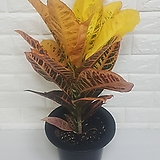 크로톤 (중품) / 공기정화식물|Codiaeum Variegatum Blume Var Hookerianum