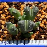 Conophytum khamiesbergensis|