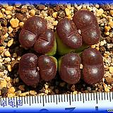 Conophytum neohallii Tweefontein RED|