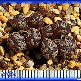 Conophytum concordia|