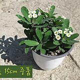 꽃기린 화이트(Crown of Thorns White 흰색) 지름 15cm 중품화분 다육|