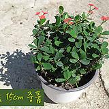 꽃기린 레드(Crown of Thorns Red 빨강) 지름 15cm 중품화분 다육|