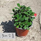 꽃기린 레드(Crown of Thorns Red 빨강) 지름 9cm 소품화분 다육|