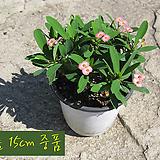 꽃기린 핑크(Crown of Thorns Pink 분홍) 지름 15cm 중품화분 다육|