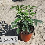 홍콩야자(쉐플레라, schefflera)  지름 9cm 소품화분 관엽|