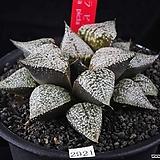 XP2921-키토라 픽타|Haworthia picta