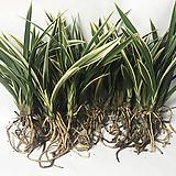 태양금(3-4촉)/난/동양란/공기정화식물/나라아트|