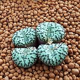 코노피튬 일반종 옵코델룸 씨앗 5립 (CS51)|Conophytum