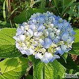메구미 수국/산수국/별수국/노지월동|Hydrangea macrophylla