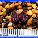 Conophytum swanepoelianum rubrolineatum PVB s.n|